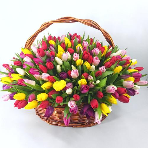 301 разноцветный тюльпан